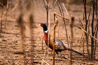 Ring Necked Pheasant -1
